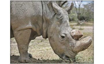 Sudan – the world's last male northern white rhino dies