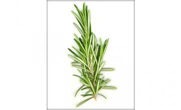 Rosmarinus officinalis, native to the Mediterranean region