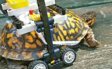 Lego wheelchair helps injured turtle to move
